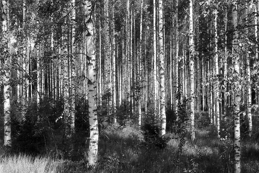 Harbel Photography, The Calm - Finnish Birch. Finnish Birch. Vera Fotografia