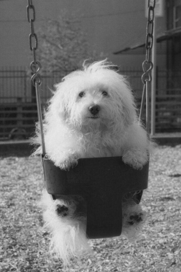 Harbel Photography, The Dogs - Rufus in Sumo. Sumo dog. Vera Fotografia