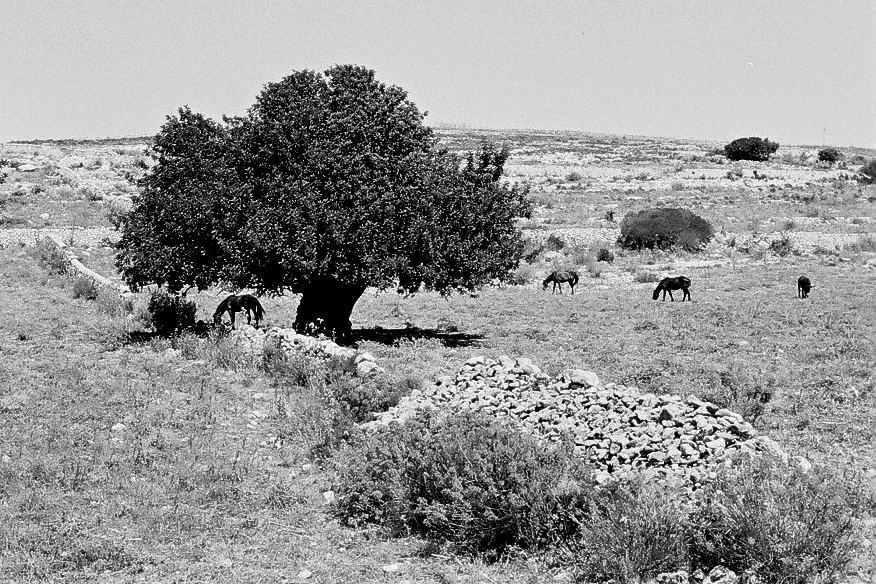 Harbel Photography, The Calm - Sicilian landscape. Tree with horses. Vera Fotografia